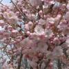 Prunus 'Benden'