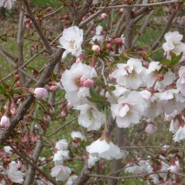Prunus 'Hally joulivette'