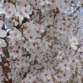 Prunus incisa 'Compacta'
