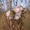 Prunus 'Mikuruma-gaeshi'