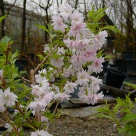 Prunus 'Omoi-no-mama'
