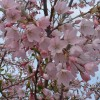 Prunus 'Pink Shell'