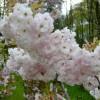 Prunus 'Shogetsu' (syn. Shimizu-Zakura)