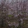 Prunus × subhirtella 'Autumnalis'