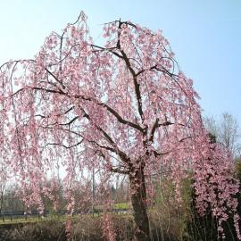 Prunus subhirtella 'Pendula'