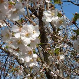 Prunus 'Washino-o'