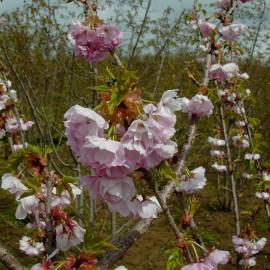 Prunus 'Edo-zakura' (syn. Yedo-Zakura)