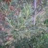 Quercus x hispanica (syn. Quercus cerris x suber)