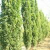 Quercus robur 'Fastigiata' (syn. Quercus robur 'Pyramidalis')