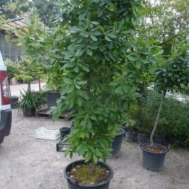 Quercus × turneri 'Pseudoturneri'
