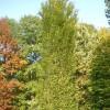 Zelkova carpinifolia 'Pyramidalis'