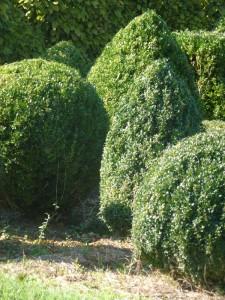 Buxus sempervirens Arborescens (palla)