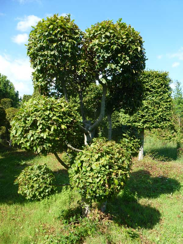 Carpinus betulus (pon pon)