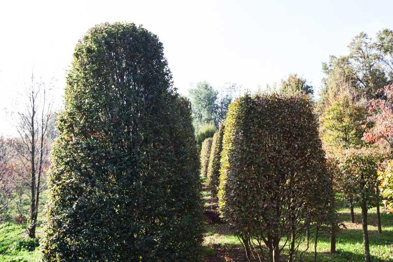 Fagus sylvatica Rotundifolia - Carpinus betulus pyramidalis