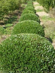Phillyrea angustifolia nana (palla)