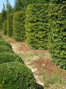Phillyrea angustifolia nana - Carpinus betulus