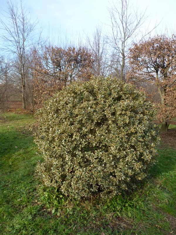Ilex aquifolium (palla)
