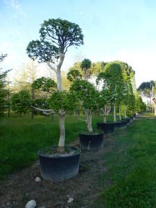 Carpinus betulus 'Monumentalis'
