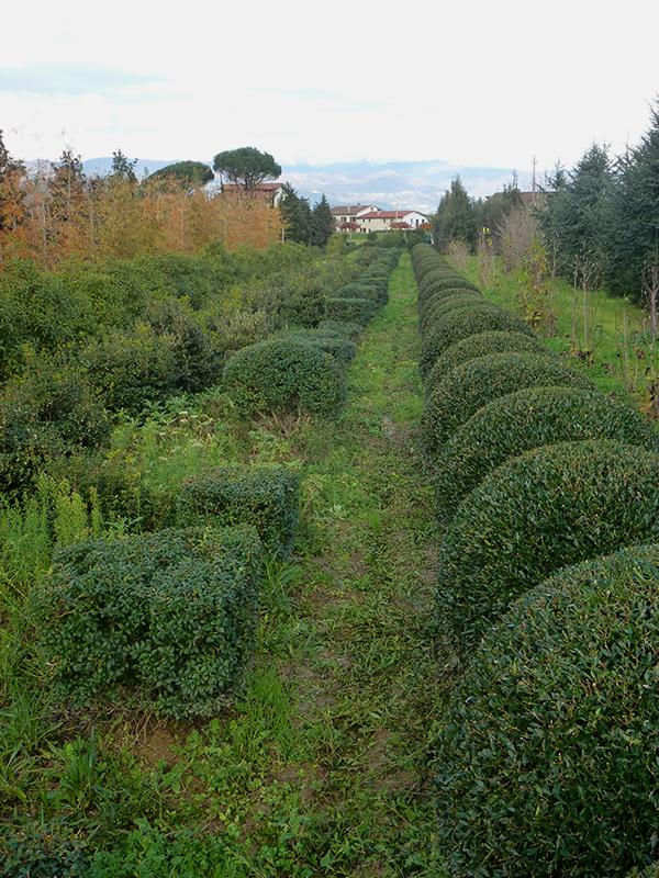 Osmarea x burkwoodii e Phillyrea angustifolia nana