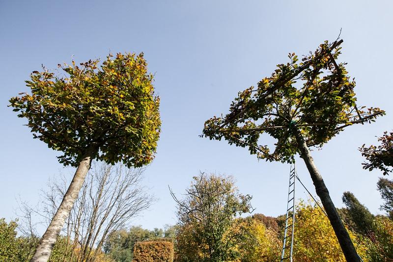 Fagus sylvatica (ombrello)