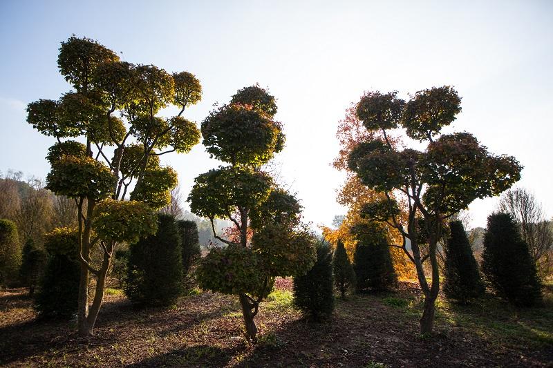 "Parrotia persica ""Pon pon"""