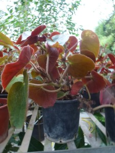 begonia burle marx