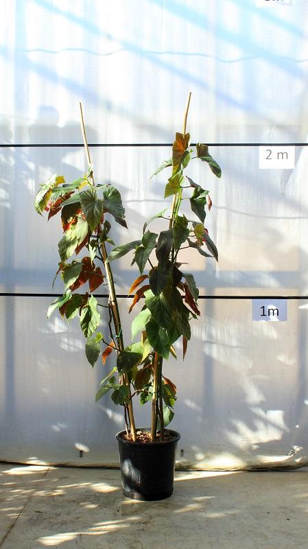 begonia-corallo