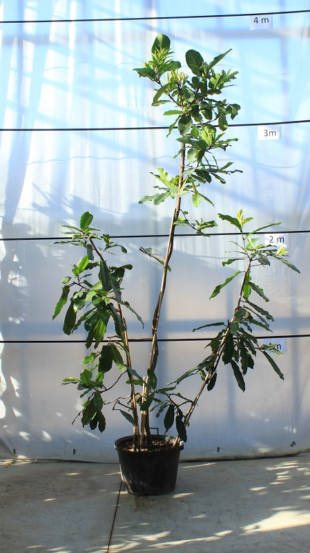 ficus-castanifolia-2