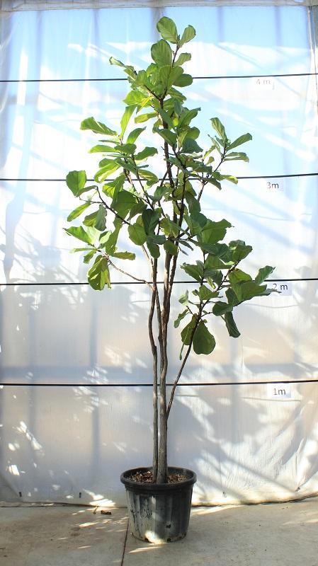 ficus-castanifolia