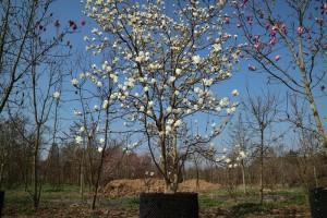 magnolia-machu-fan-3